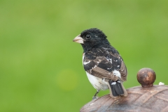 Rose-breasted Grosbeak (young)