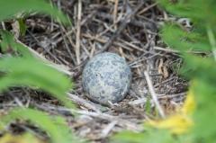 Ring Billed Gull (egg)