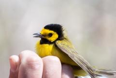 Hooded Warbler, (bird banding)