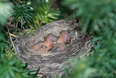 American Robin (chicks)