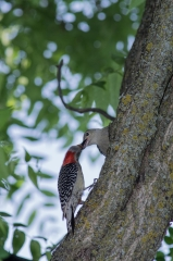 Red-bellied Woodpecker (chick)