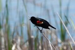 Red winged Blackbird,