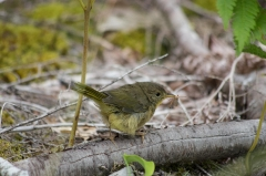 Common Yellowthroated Warbler