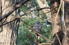 Bard Owl
