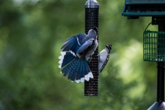 Blue Jay on Feeder