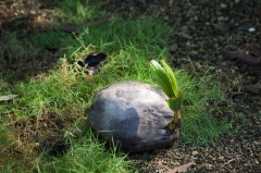 Coconut Sprouting