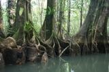 Rio Escinas - Mangrove Forest, Costa Rica