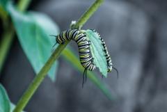 Monarch Butterfly - caterpillar