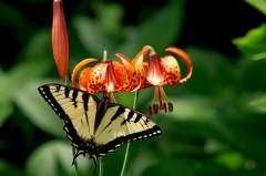 Eastern Tiger Swallowtail on Michigan Lily,