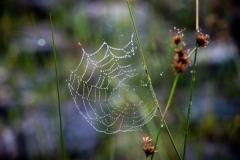 Morning Dew on Web
