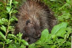 Porcupine,