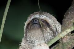 Three-toed Sloth,