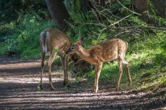 White Tail Deer (fawn & doe)