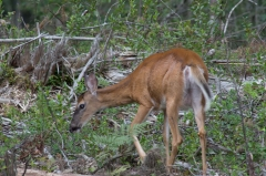 White Tail Deer,