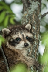 Racoon (young),
