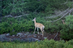 White Tail Deer with fawn