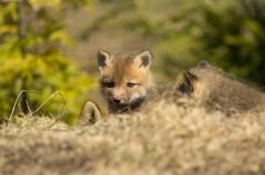 Red Fox (kit)