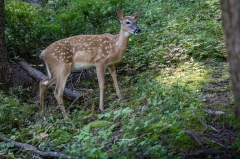 White Tail Deer (fawn),