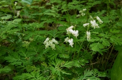 Dutchman's Breeches,