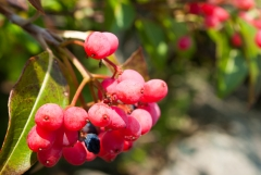 Withrod Berries