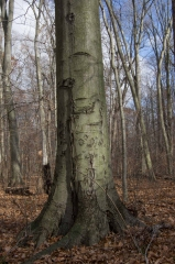 Beech (Old Growth Forest)