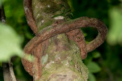 Vine  (tied itself around tree)