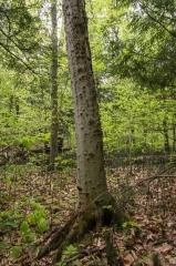 Beech (with Bark Disease)