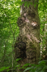 Maple (Old Growth Forest)