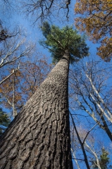 Pine (Old Growth Forest)