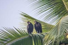 Black vultures,