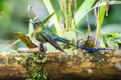 Violet-tailed Slyph