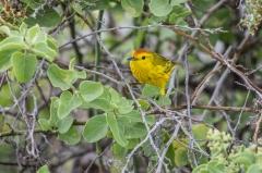 Yellow Warbler or Mangrove Warbler