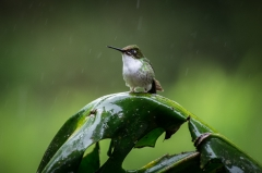 Booted Rackettail (male)