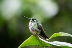 Booted Rackettail (female)