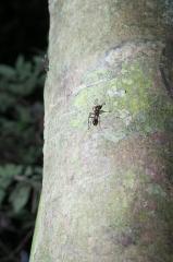 Bullet Ant - Napo River, Ecuador