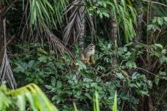 Central American Squirrel Monkey - Napo River, Ecuador