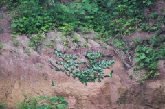 Blue-headed Parrot and Mealy Amazon Parrots - Napo River, Ecuador