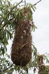 Yellow-rumped Cacique Nest - Napo River, Ecuador