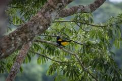 Yellow-rumped Cacique - Napo River, Ecuador