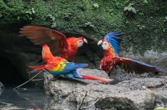 Scarlet macaw - Napo River, Ecuador