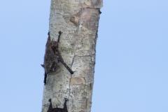 Bats on Tree - Napo River, Ecuador