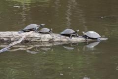 Turtles sunning - Sani Lodge - Ecuador