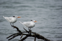 Royal Tern, Placencia,Belize