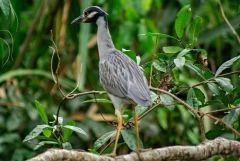 Yellow-crowned Night Heron - Monkey River, Belize