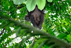Howler Monkey - Monkey River,Belize