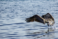 Brown Pelican, Belize