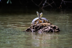 Turtle - Monkey River , Belize