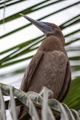 Brown Booby - Belize