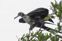 Magnificent Frigatebird, Placencia,Belize