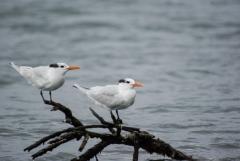 Royal Tern, Placencia,Belize